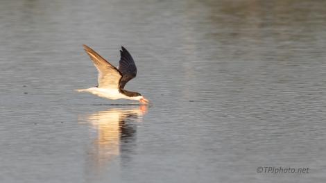 Marsh Skimmers