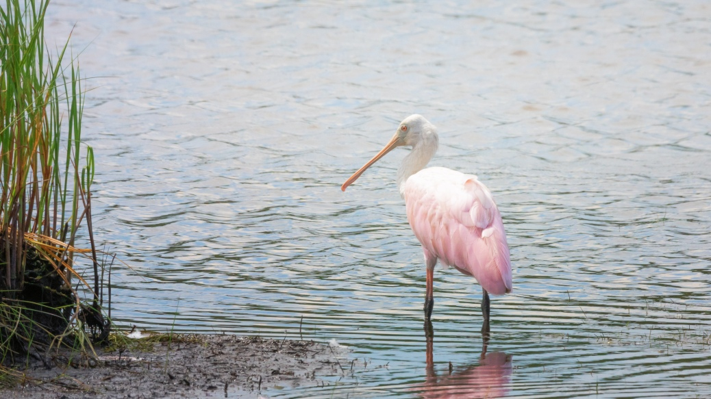 Spoonbill Off Away From A Flock - click to enlarge