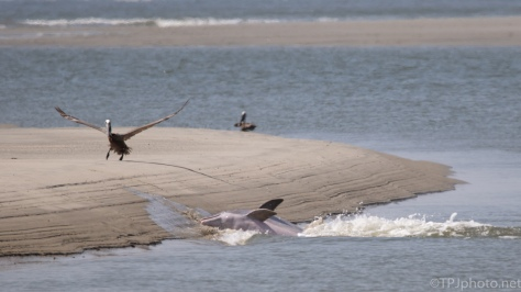 Dolphins And Pelicans On Shore - click to enlarge