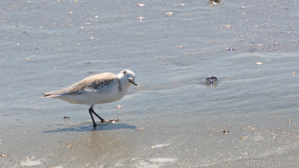 Accommodating Sanderling - click to enlarge