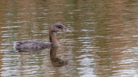 Young Grebe In The Fall Waters - click to enlarge