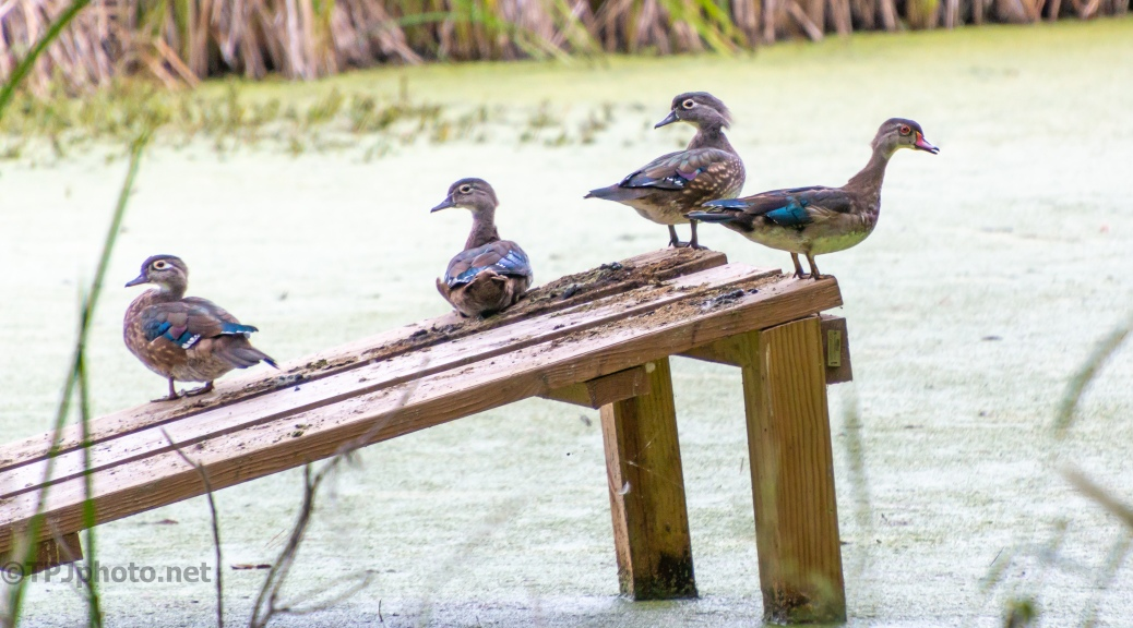 Wood Ducks, They Were Ready For Me - click to enlarge