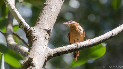Wren Singing Loud - click to enlarge