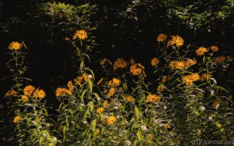 Swamp Sunflower- click to enlarge