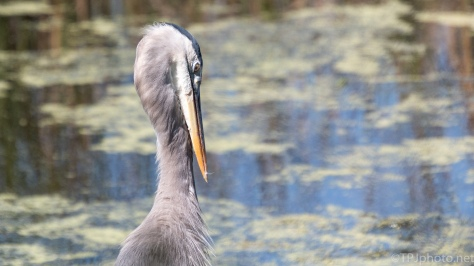 Up Close And Personal, Great Blue Heron - click to enlarge
