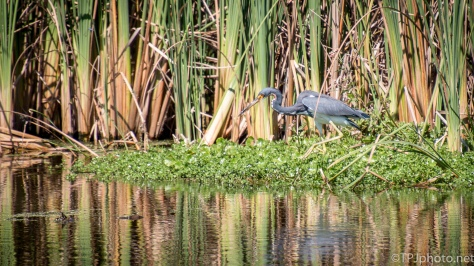 Blending In, Tricolored Heron - click to enlarge