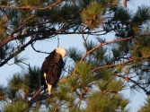 First Light, Bald Eagle - click to enlarge