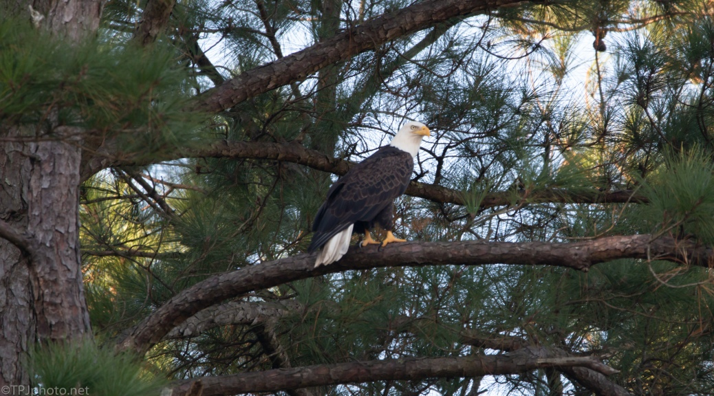 Want Another Eagle - click to enlarge