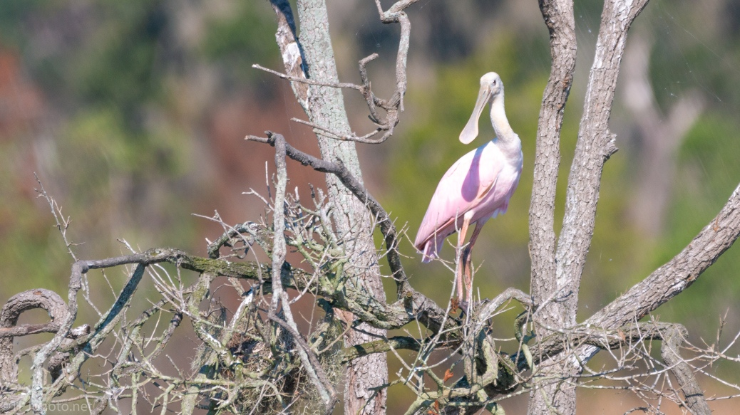 Spoonbill Resting - click to enlarge