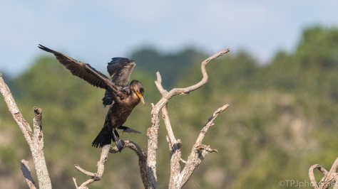 Double Crested Cormorant Shaking Dry - click to enlarge