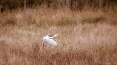 Slipping Into The Marsh, Egret - click to enlarge