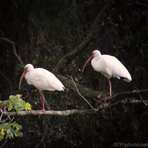 Just A Little Odd, Ibis - click to enlarge