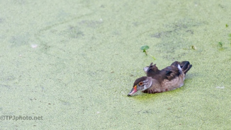 Survivor, Wood Duck - click to enlarge