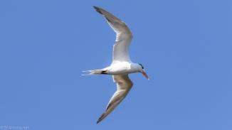 Royal Tern In Motion