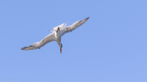 Royal Tern In Motion