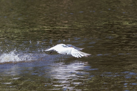 Royal Tern, Low Over The Water