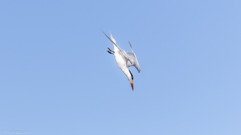 Royal Tern, Diving And Catching Fish