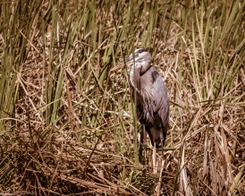 Thick Cane And Reeds, A Heron