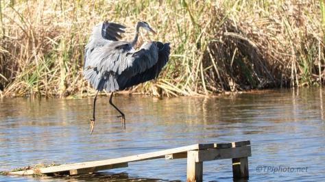 Great Blue Heron, An In Flight Series