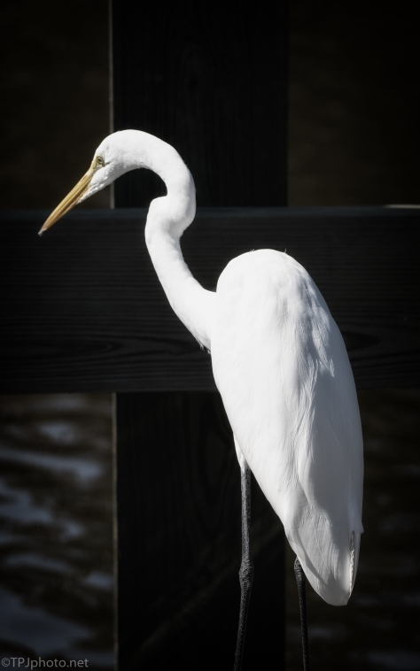 Portrait, Great Egret - click to enlarge