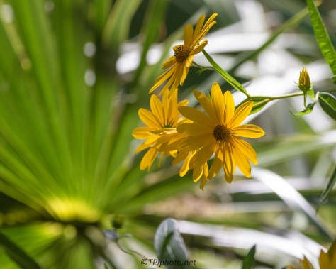 Swamp Sunflower - click to enlarge