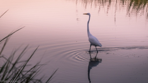 Early Morning Egret - click to enlarge