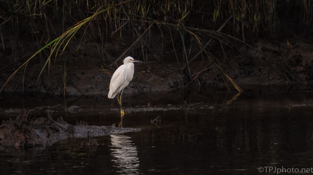 Snowy Egret In A Dark Spot