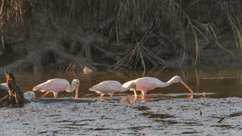 Sneaky Spoonbills - click to enlarge