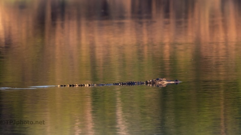 Gliding By, Alligator - click to enlarge