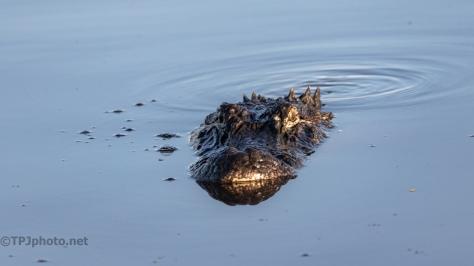 Strange Coloring, Alligator - click to enlarge