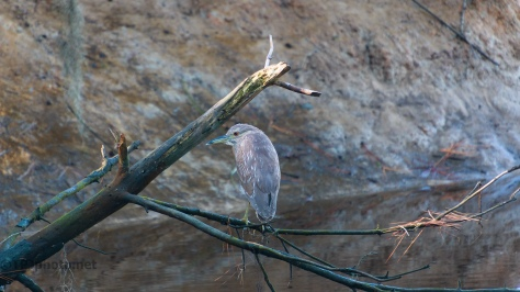 Night Heron, Perched Over A Marsh Canal - click to enlarge