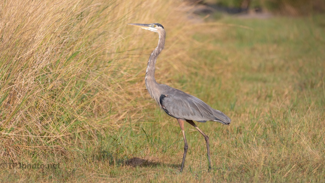 Great Blue On The Dike - click to enlarge