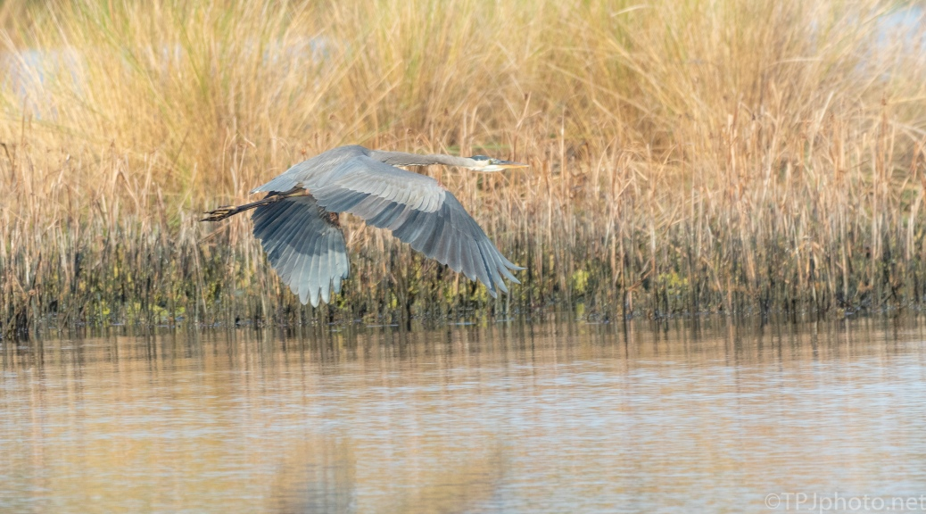Great Blue Heading To The Reeds - click to enlarge