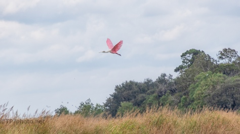Spoonbill Coming Into A Marsh (2) - click to enlarge