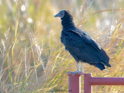 Black Vulture, First Greeting - click to enlarge