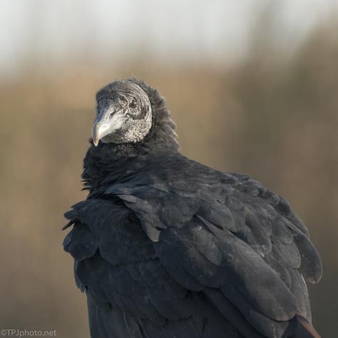 Black Vulture Portrait - click to enlarge