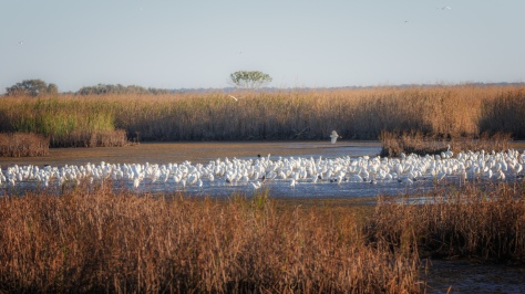 A Few White Birds - click to enlarge