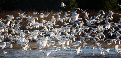 All At Once, A Thousand Egrets - click to enlarge