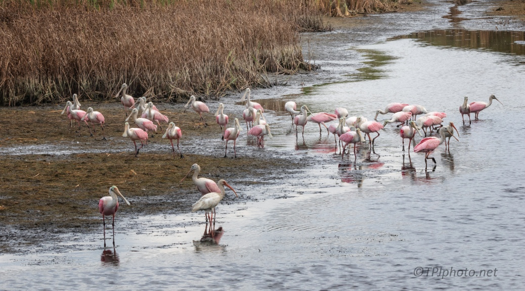 It Was A Long Day, Spoonbills - click to enlarge