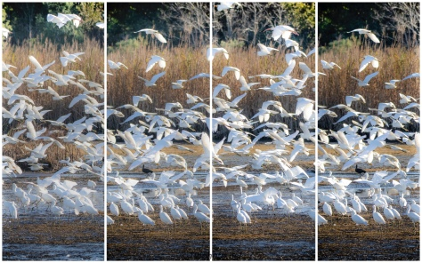 Way Too Many Egrets - click to enlarge