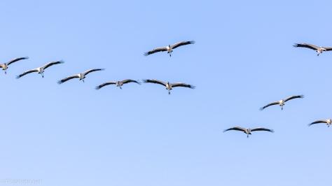 Wood Storks Arriving - click to enlarge