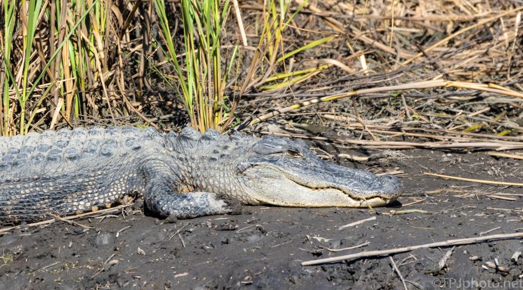 Missing Foot, Alligator - click to enlarge
