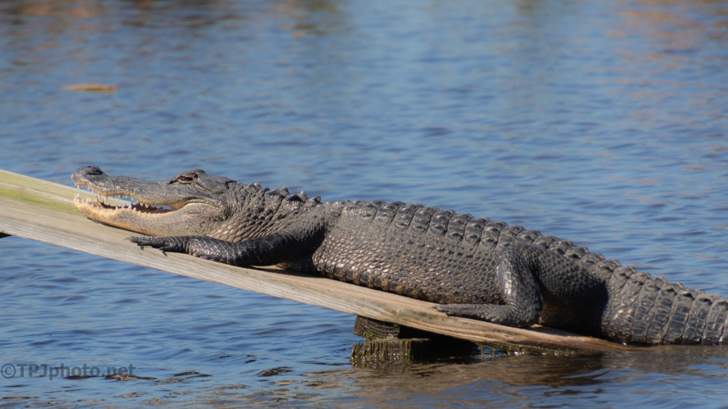 Almost Looks Happy, Alligator - click to enlarge