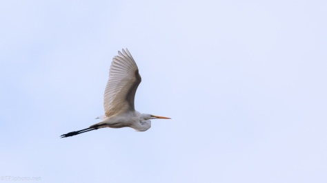 Floating Egret - click to enlarge