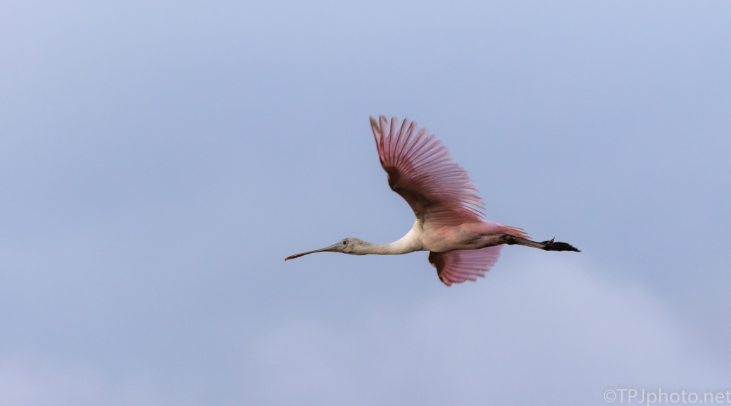 Fly By Spoonbill, Odd Lighting - click to enlarge