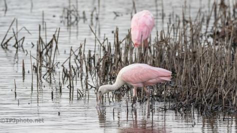 Speaking Of Leaving For Warmer Weather, Spoonbills - click to enlarge