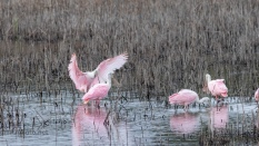 Late Arrival, Spoonbill - click to enlarge