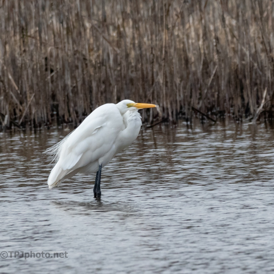 Egret On A Cold Morning - click to enlarge