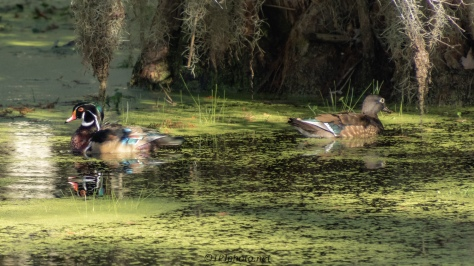 Wood Ducks In The (Green) Soup - click to enlarge