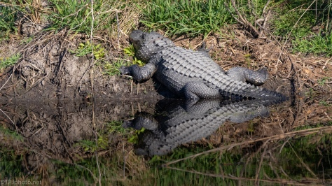 Too Big To Climb The Bank, Alligator - click to enlarge